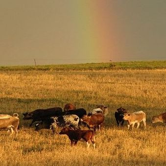 Cows in pasture with rainbow sky